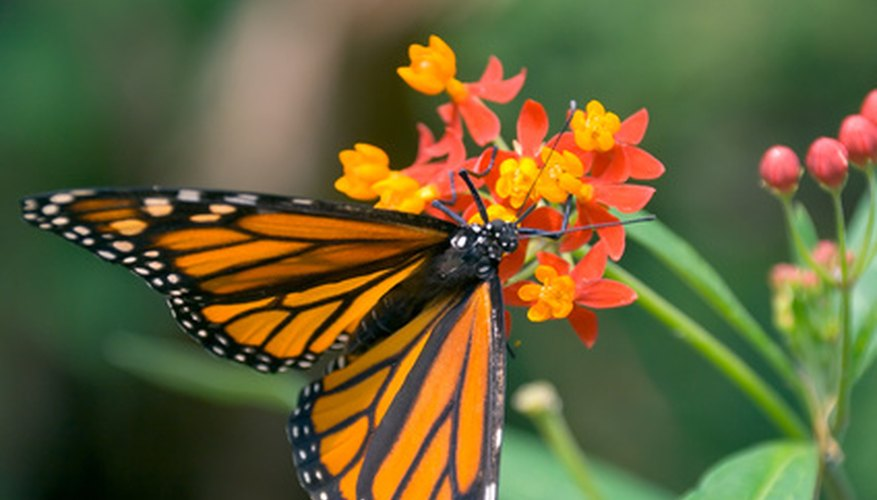 Monarch butterlies use milkweed as a host and nectar plant.