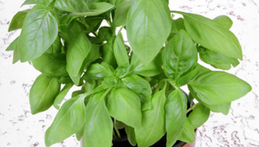 Basil makes a lovely indoors office herb.