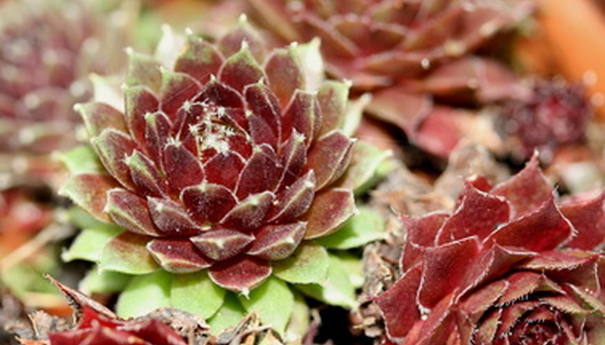 The hens-and-chicks plant is an extremely cold-tolerant succulent species.