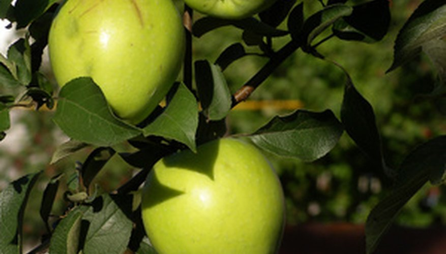 Centuries ago, completely different apple varieties filled orchards.