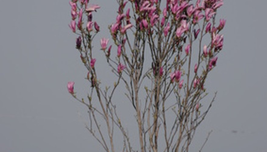 Japanese magnolias are not prone to many diseases.