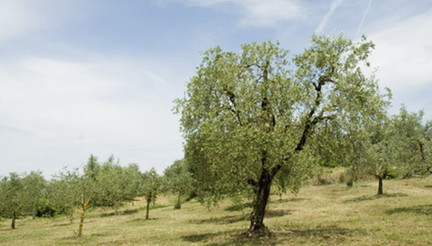 Orchards should be arranged in neat patterns to encourage polination.
