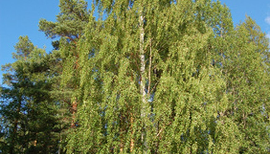Birch trees have many uses beyond landscaping.