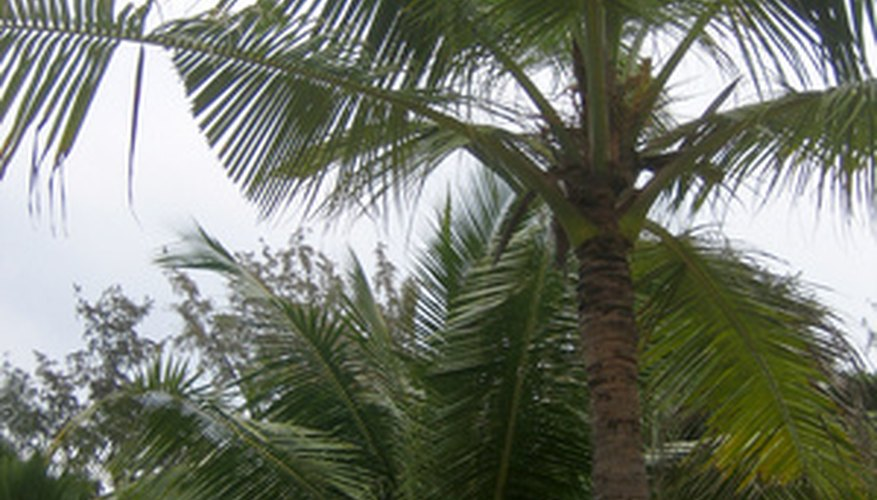 The acai palm is related to all other palm trees.