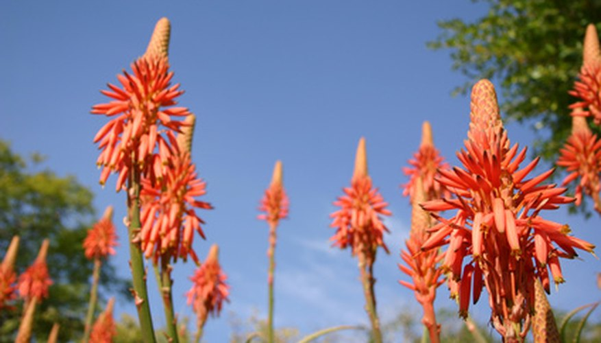 Aloe vera is an angiosperm plant.