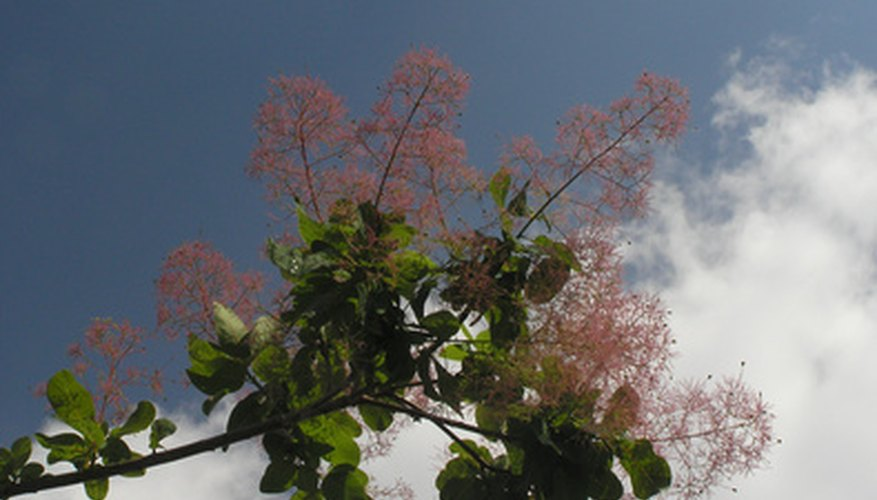 The tiny blossoms of the smoke tree add delicate beauty to the landscape.