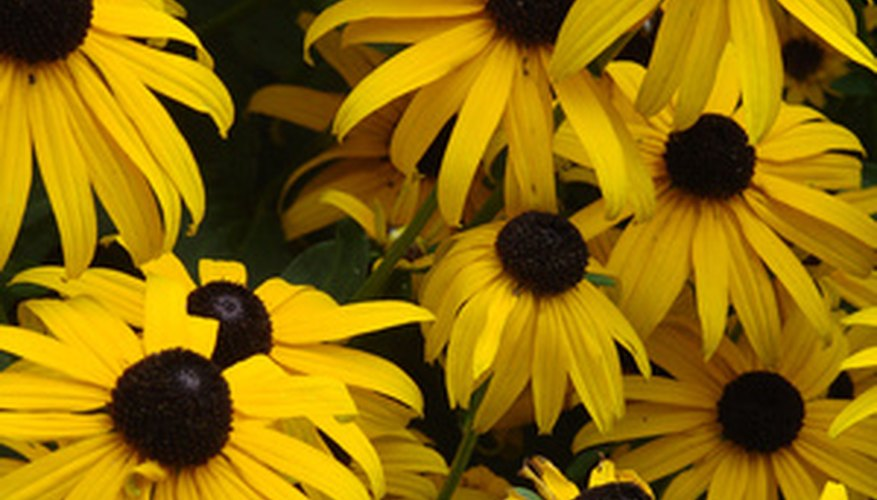 Biennial Black-Eyed Susans form flowers during the second year of growth.