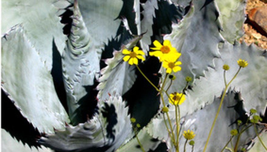 Agave blooms only once in its lifetime.