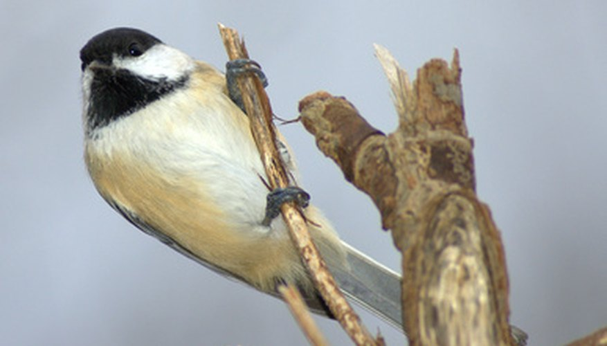 Chickadees enjoy living in birdhouse gourds.