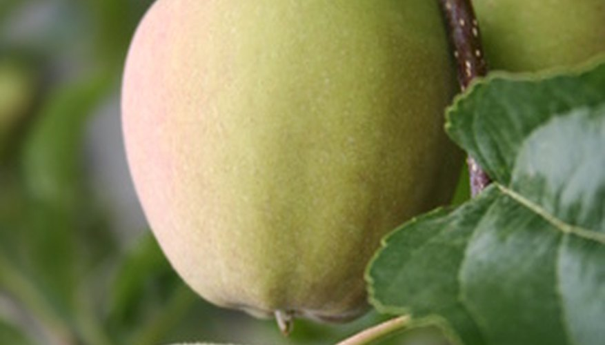 Apples are ready to harvest at various times of the season.