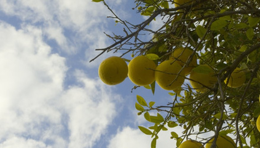 Grapefruit trees produce a healthy, highly nutritous fruit.