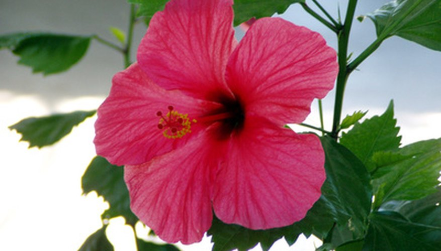 The hibiscus flower grows in south Florida.