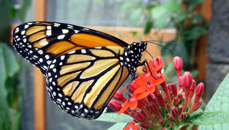 Milkweed plants attract butterflies to your garden.