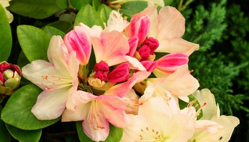 Azaleas are types of rhododendrons.