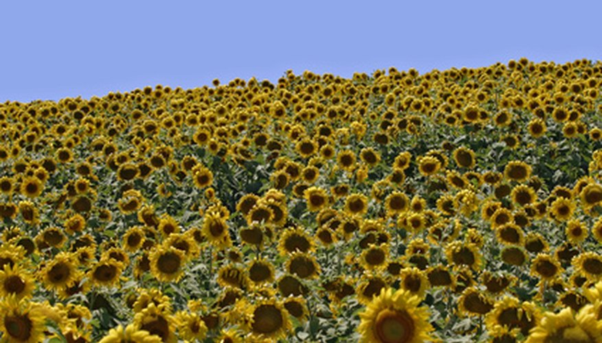 Sunflower seeds can have the oil extracted to produce cooking and salad oil.