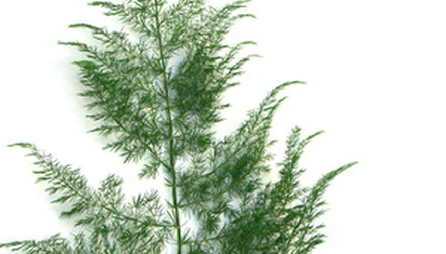 Asparagus grows into a large fern.