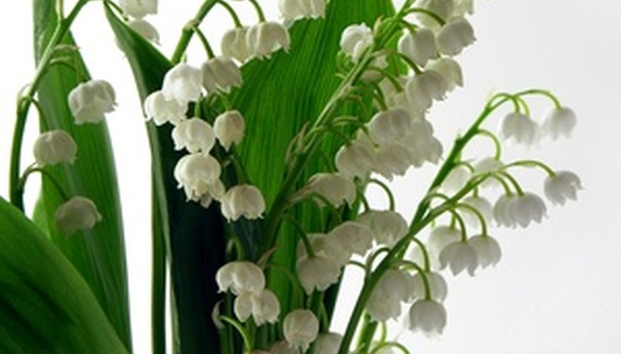 Lily of the valley is often used in wedding bouquets.