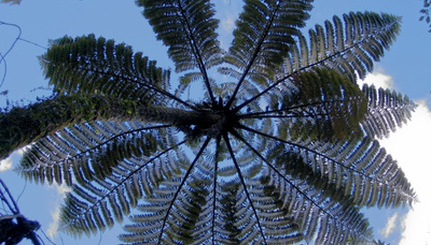 Silver tree fern grows in New Zealand.