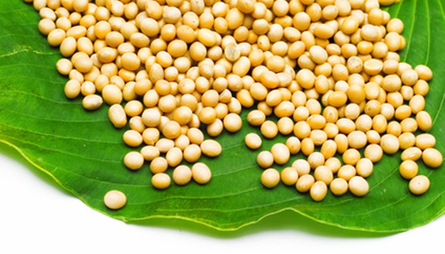 Soybean is the largest grown bean plant in the world.