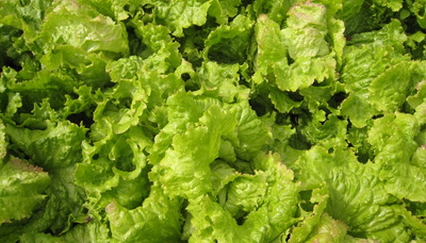 Grow your lettuce from last year's seeds.
