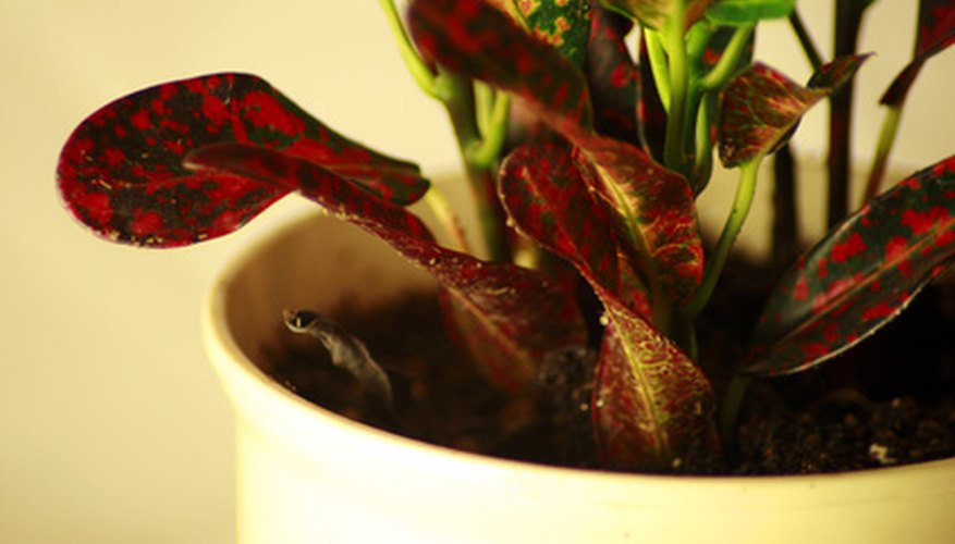 Croton petras make colorful indoor plants.