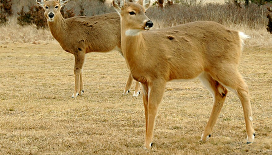 A barley plot may attract deer to your property.