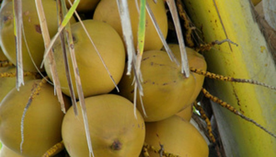 Malayan coconuts are red, yellow, golden or green.