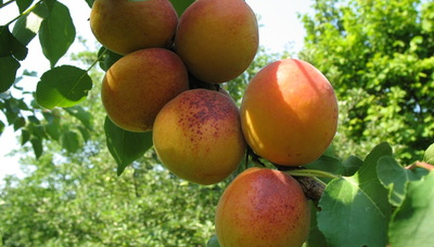 The hardy apricot tree is prized for its fruit.