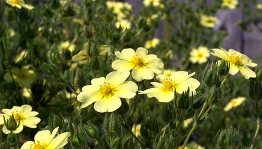 Yellow cinquefoil is most common.