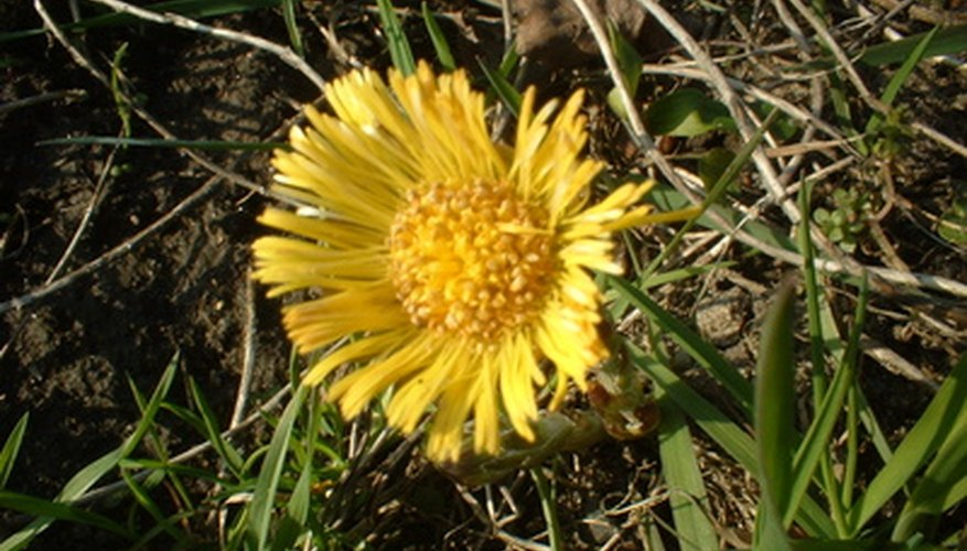 Kill weeds such as dandelions when applying weed-and-feed fertilizer to wet grass.