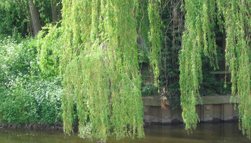 Weeping willow foliage over a pond.