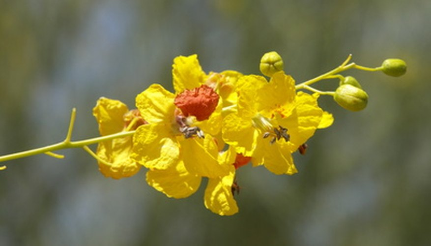 Palo verde's yellow flowers are a source of nectar and produce seed pods that are food for desert animals.