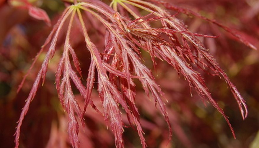 Leaves of the Crimson Queen Japanese maple