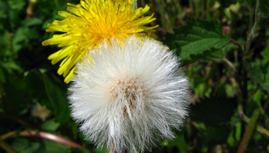 Dandelion flower and seed head
