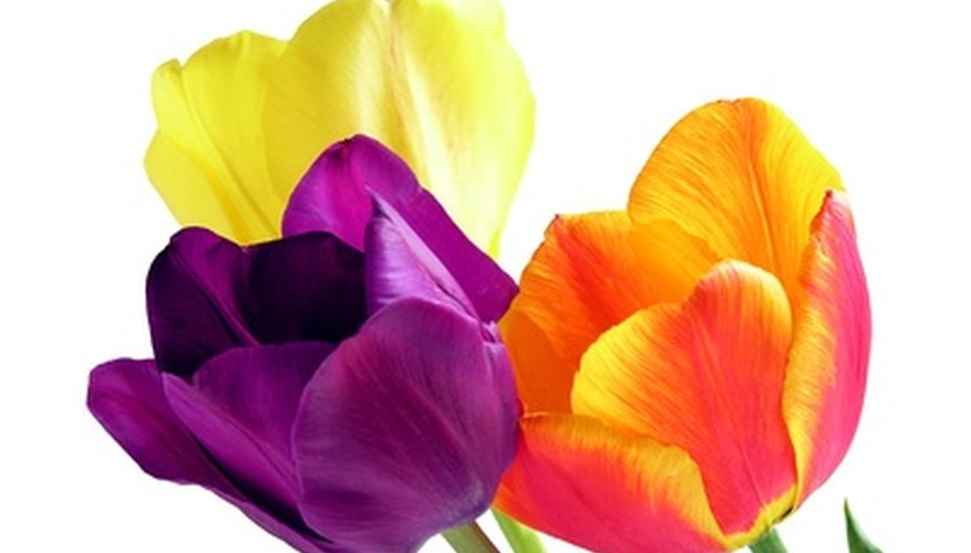 Tulips are available in an array of colors.