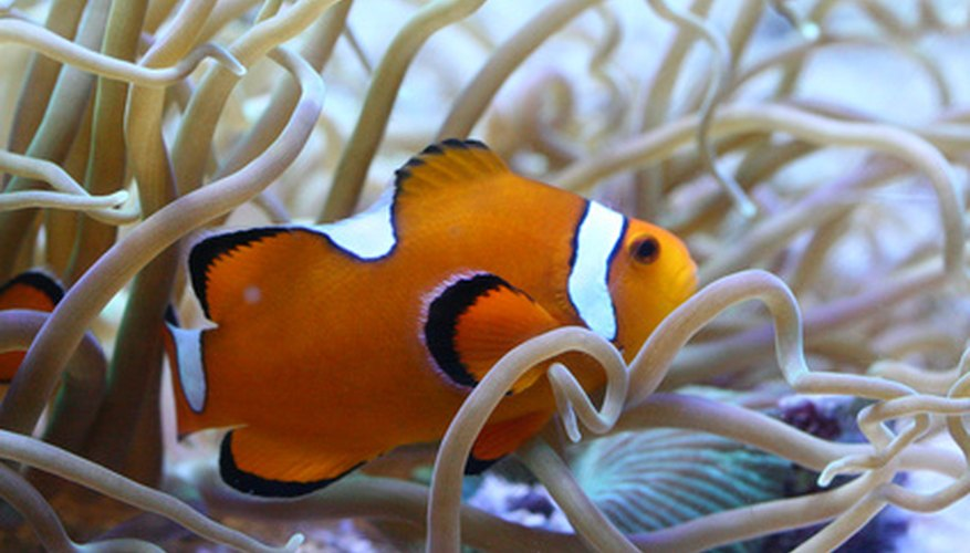 Clownfish share tropical waters with much larger creatures, like the bottlenose dolphin.