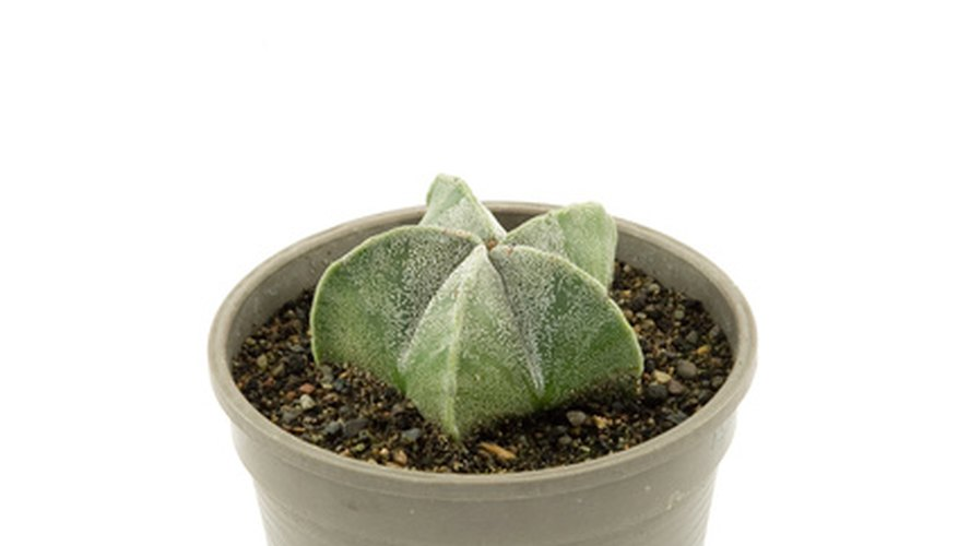Cacti require a light, airy, well-drained potting soil mix.