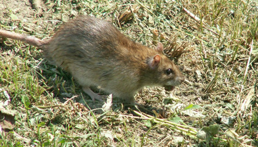 Rats may be seen scurrying around your garden.