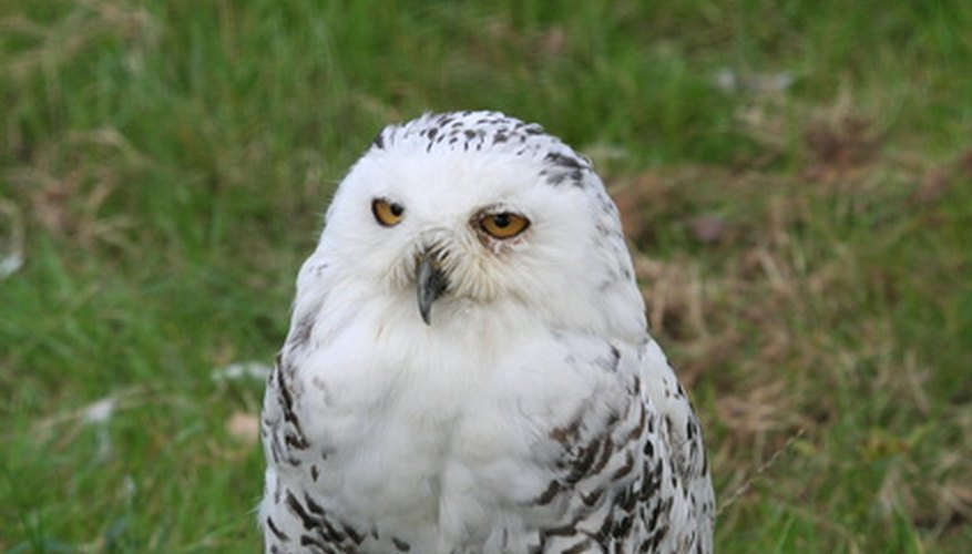Snowy owls are predators.