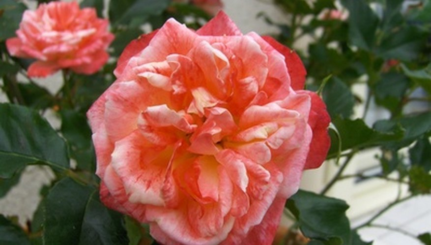 Roses can be grown in clay soil.