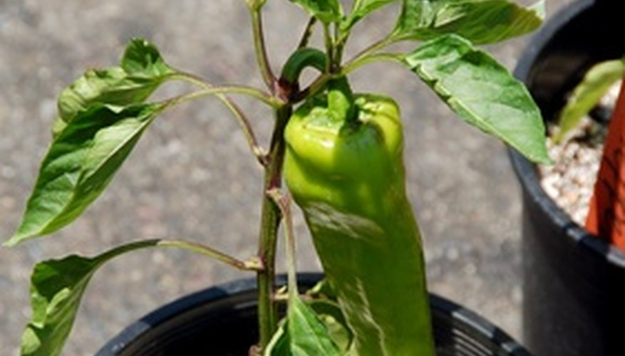 Pepper plants grow well in moist but well-drained soil.