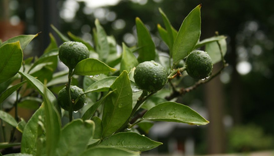 A healthy lime developing fruits.