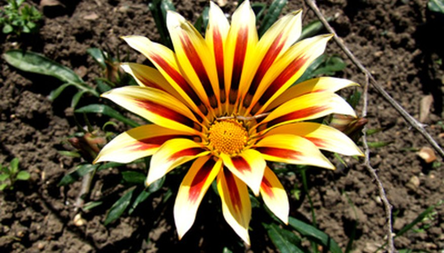 Gazania bloom