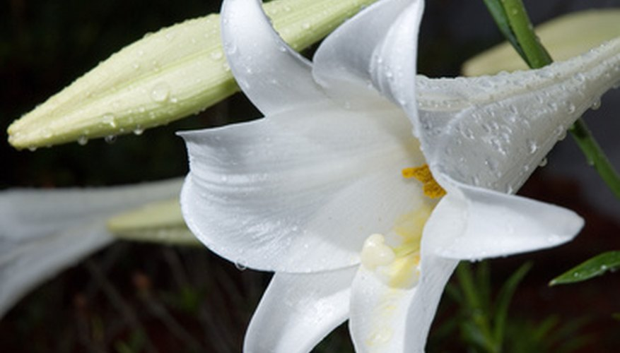 An Easter Lily