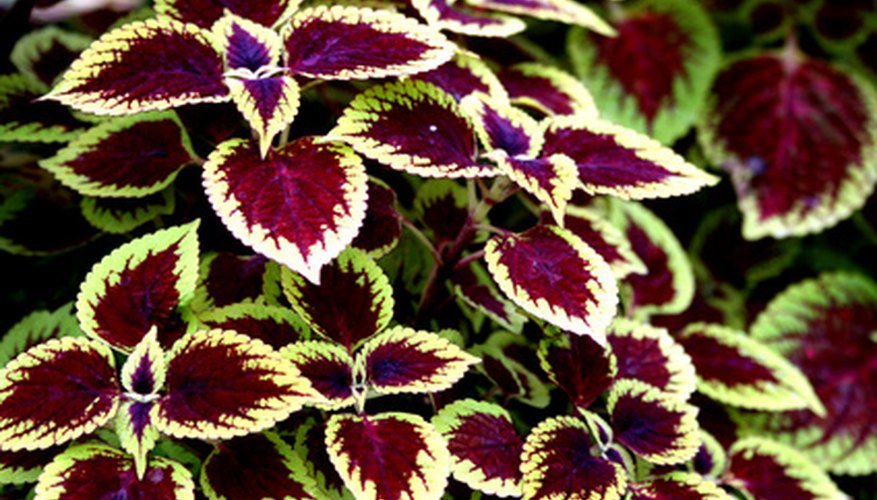 Deep red foliage characterizes many shade tolerant coleus.
