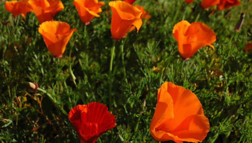 California poppies close their flowers at night and on cloudy days.
