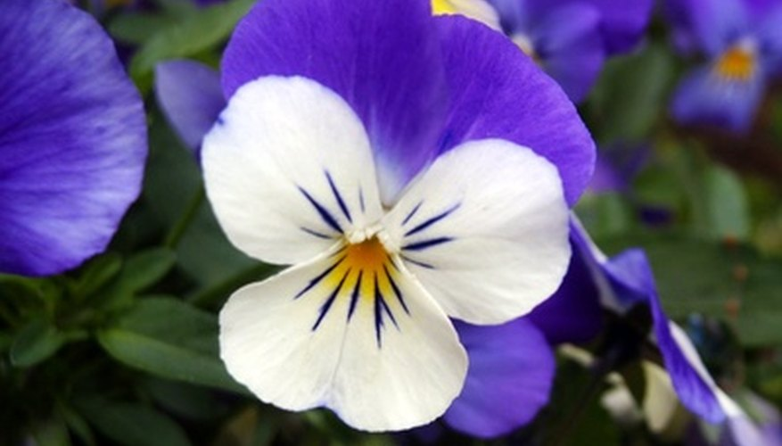 Violas come in colors to match every taste.