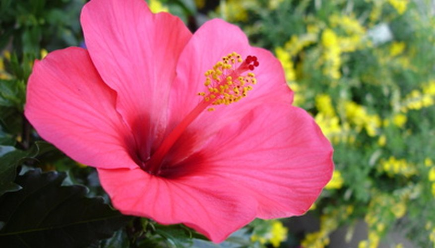 Chinese hibiscus flower in full bloom