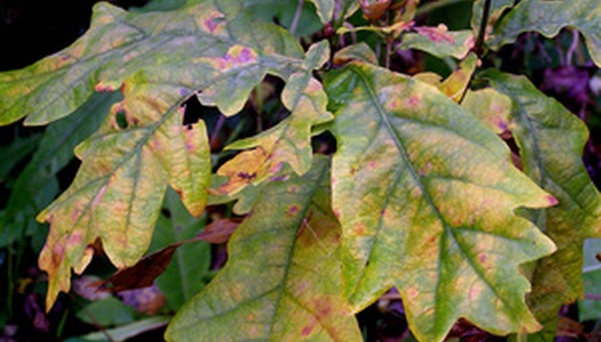 Prune affected leaves as soon as you identify them.