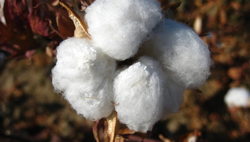 Cotton (Gossypium species) is grown for its fiber.
